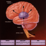 During REM-sleep, the brain mimics the same activities as during the awake-state