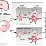 Sugar-sensitive neurons possibly causing diabetes