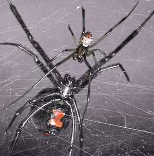 Difference between male & female black widow spider