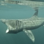Basking shark spotted in Dutch waters
